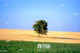 Tree in a field, Southern Bohemia. Czech Republic