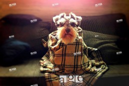Dog wrapped in blanket on sofa