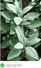 Fresh Sage Salvia growing