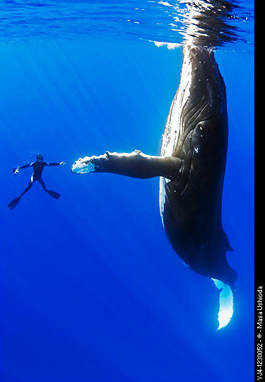Humpback whale, Megaptera novaeangliae, and diver, reaching out for a physical contact