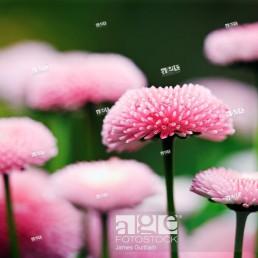 English Daisy Bellis perennis Variety Bellissima Rose